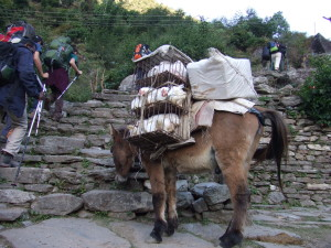 Poor donkey carried a dozen chickens and a box of food up the mountain (Nepal)
