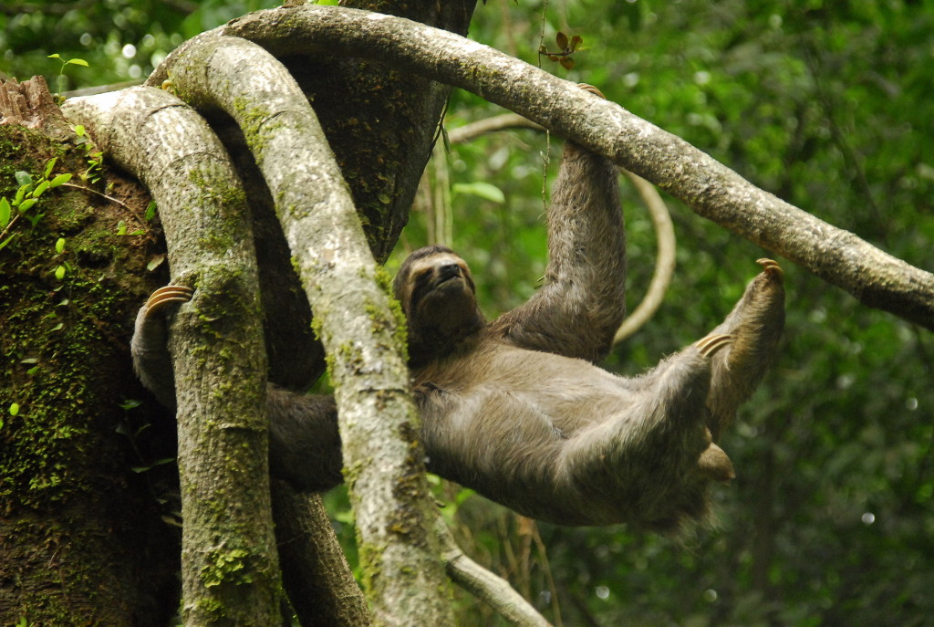 Swinging sloth - this guy can stay up in the trees for days.